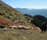 Mali Me Gropa shepherd